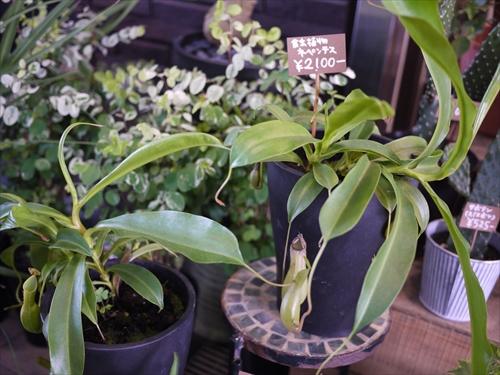 SUN FLOWER SHOP7食虫植物